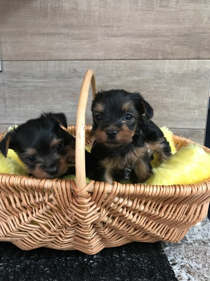 4 Akc Teacup Yorkie Puppies For Sale I Have 3 Teacup York United