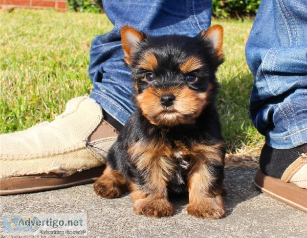 Yorkie Puppies Available Male And Female York United States Los