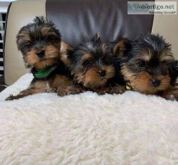 yorkie male and female for sale
