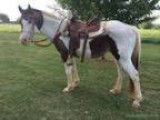 Buckskin White gelding horse for sale