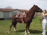 YO Quarter Cross Gelding
