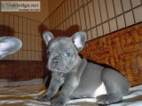 Awesome blue french bulldog puppies