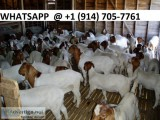 Best selling dairy goats and sheep