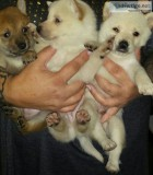 4 akc teacup yorkie puppies for sale
