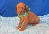 Cute litter of vizsla puppies for sale