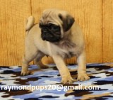 Htrained pug puppies ready for adoption