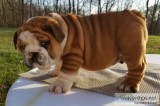 Akc english bulldog puppies 50% off