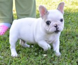 Product french bulldog puppiesk