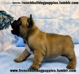 Beautiful fluffy french bulldog puppies