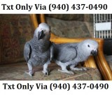 Breeding pair of congo african grey parr