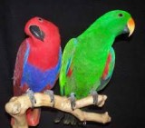 Eclectus and cockatoo parrots for sale
