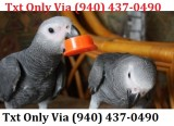 Dccd beautiful african grey parrot for s