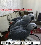 Well-socialized african grey
