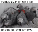 Bvbv african grey parrot for adoption