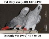 Awesome african grey parrots - edrf