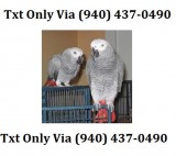 Cdfvplayful pair of african grey parrots