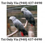 Talkative african grey parrots for adopt