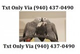 Amazing talking twin african grey parrot