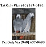 Tame african grey parrot with corner cag