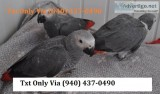 Talkative congo african grey parrots for