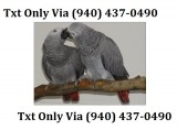 Vc red congo african grey parrot -