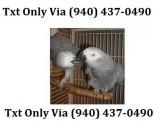 African grey congo needs a new home -
