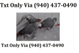 Eqwr african grey for sale -