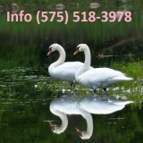 Olwpdm mute swans for sale