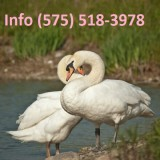 Ychyjz mute swans for sale