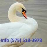 Hdwmr mute swans for sale