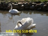 Atcksh mute swans for sale