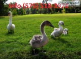 Ilftna mute swans for sale