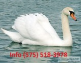 Sfjeht mute swans for sale