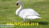 Pctmaw mute swans for sale