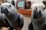 Sveqv, male and female african grey