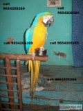 All type birds for sale 9654209269