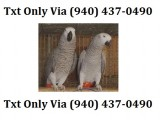 African grey parrot breeding pair