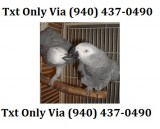 African grey parrot for sale