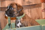 Cute boxer puppies() -