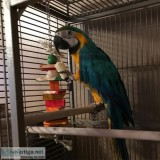Talking baby macaw