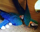 Parrots and their fertile eggs for sale