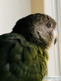 African brown headed parrot