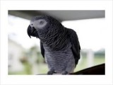 Sweet and lovely African grey parrots for valentine