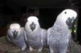 African Grey Parrots for Valentine
