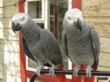 Talkative African Grey Parrots Available