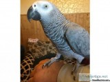 African grey parrot baby 16 mths old