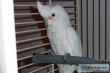 Goffin s Cockatoo Female w Large Bird Cage on Wheels