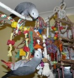 African grey parrots and fertile hatching eggs