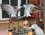 Lovely Congo African Grey Parrots