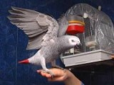 Male African Grey Parrots